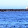 Harbor seal (Phoca vitulina) in the Coquille River.- Coquille River Lighthouse