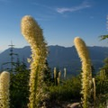 Bear grass in the summer on Mount Washington.- Mount Washington