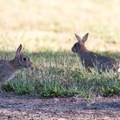 There is an abundance of brush rabbits (Sylvilagus bachmani) around Cabell Lodge.- William L. Finley National Wildlife Refuge
