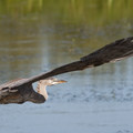 Great blue heron (Ardea herodias).- William L. Finley National Wildlife Refuge