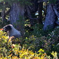 Trailside marmot.- Table Mountain