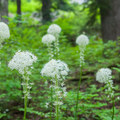 Beargrass flowers (Xerophyllum tenax).- Olallie Lake