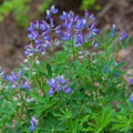Miniature Lupine.- Olallie Lake