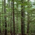 The trail to Talapus Lake traverses through cedars and hemlocks.- Talapus Lake