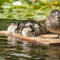 Female wood duck (Aix sponsa).- Washington Park Arboretum Kayak/Canoe