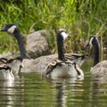 Canada Geese (Branta canadensis).- Washington Park Arboretum Kayak/Canoe