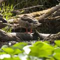 Mallards (Anas platyrhynchos).- Washington Park Arboretum Kayak/Canoe
