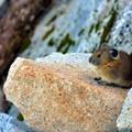 Pika (Ochotona) can be seen and heard among the rocks.- Mount Pilchuck