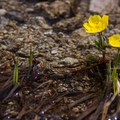 Swamp buttercup (Ranunculus orthorhynchus).- Elkhorn Crest Trail: Lost Lake + Summit Lake