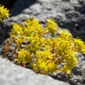 Lanceleaf stonecrop (Sedum lanceolatum).- Elkhorn Crest Trail: Lost Lake + Summit Lake