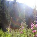 Fireweed on the Denny Creek Trail.- Snowshoe + Keekwulee Falls via Denny Creek Trail