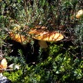 Mushrooms in September.- Park Butte