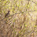 Song sparrow (Melospiza melodia).- Ankeny National Wildlife Refuge