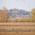 Canada geese (Branta canadensis).- Ankeny National Wildlife Refuge
