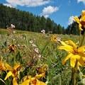 Alpine sunflower (Hymenoxys grandiflora).- Redcloud Peak + Sunshine Peak