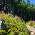 Part of the trail leads through fireweed (Chamerion angustifolium).- Annette Lake