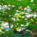 Salmonberries (Rubus spectabilis).- Annette Lake