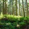 Fir trees.- Annette Lake