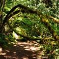 Mossy trees reaching across Horseshoe Bend Trail.- Horseshoe Bend Trail