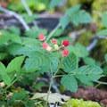 Salmonberry (Rubus spectabilis).- Bandera Mountain Hike