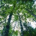 Tall alders.- Mason Lake