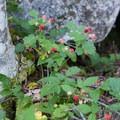Salmonberry (Rubus spectabilis).- Mason Lake