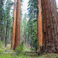 North Grove.- Calaveras Big Trees State Park