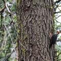 Pileated Woodpecker (Dryocopus pileatus).- Calaveras Big Trees State Park