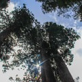 Calaveras Big Trees State Park.- Calaveras Big Trees State Park