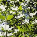 Pacific dogwood (Cornus nuttallii).- Calaveras Big Trees State Park