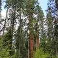 The person in this photo gives scale to the colossal size of the grove's trees.- North Grove Trail