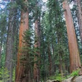 Giant sequoias (Sequoia sempervirens) along the North Grove Trail.- North Grove Trail