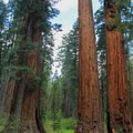 The giants of North Grove.- North Grove Trail