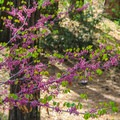 Western red bud (Cercis occidentalis) in Wakaluu Hep Yoo Campground.- Wakaluu Hep Yoo Campground