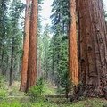 Giant sequoias (Sequoiadendron giganteum) of the North Grove.- North Grove Campground