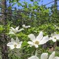 Pacific dogwoods (Cornus nuttallii) come into bloom in spring around North Grove Campground.- North Grove Campground
