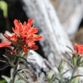 Coast indian paintbrush (Castilleja affinis) on the Table Rock Trail.- Table Rock