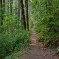 A lush understory of rhododendrons and ferns along the hike to Rooster Rock.- Rooster Rock Hike