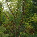 A beautiful madrone (Arbutus menziesii) along the trail to Rooster Rock.- Rooster Rock Hike