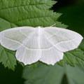 Pale beauty (Campaea perlata).- Lost Creek Campground