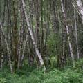Birch grove.- Lost Creek Campground