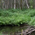 A beaver dam near the campground.- Lost Creek Campground