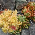 Sedum flowers dot the rocky outcropping near the summit of Dome Rock.- Dome Rock + Tumble Lake Hike