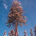 Western white pine (Pinus monticola). - Lassen Southwest Entrance Winter Recreation Area