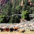 The Hop Valley Trail includes a few miles of grazing land.- Trans-Zion Trek