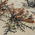 Unidentified species (help us identify it by providing feedback).- Del Monte Beach
