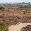 The path winds through dunes that have been claimed by vegitation.- Fort Ord Dunes State Park