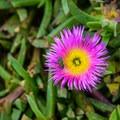 Purple ice plant (Carpobrotus edulis) flower with a metallic green bee (Agapostemon).- Asilomar State Marine Reserve
