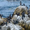 A flock of cormorants.- Asilomar State Marine Reserve