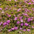 Purple ice plant (Carpobrotus edulis)- Asilomar State Marine Reserve